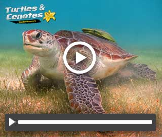 Swim with Turtles in riviera maya excursions