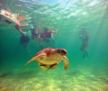 Snorkel with Akumal turtles on Tulum Tours