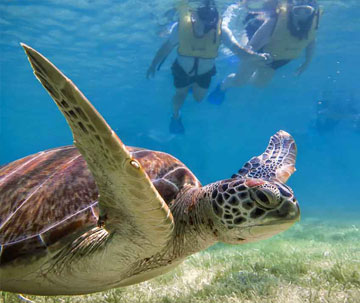 Swim with Turtles and snorkel at the Coral Reef tour
