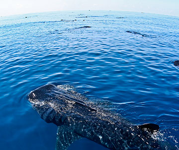 Whale Shark Tour perk: Whale Sharks Guaranteed